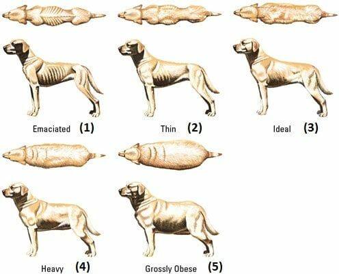 perro condicion corporal