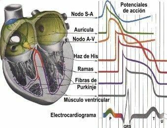La hipertensión en el perro cardiaco hay que controlarla con la nutrición y fármacos