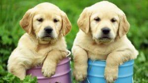 El cachorro y las alergias alimentarias