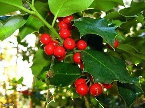 Tres plantas t xicas venenosas muy comunes en navidad for Plantas toxicas gatos
