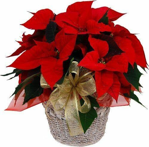 Tres Plantas T Xicas Venenosas Muy Comunes En Navidad