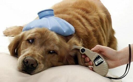 Resultado de imagen para perros diabetes