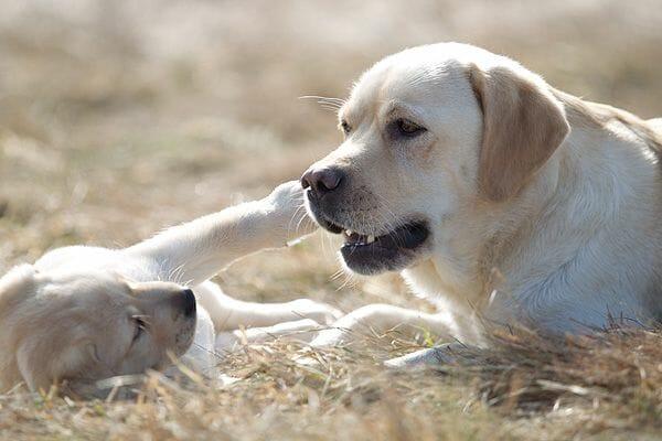 Eine gelbe Labrador Retriever-Hündin in Harmonie mit ihrem Welpen.
