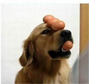 El huevo y tu perro ¿Cocido o crudo? Propiedades