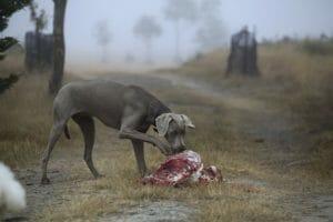 Dos proteínas que das a tu perro y que son muy perjudiciales (parte II)
