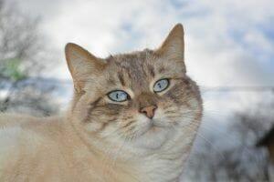 El gato. Nutrición y comportamiento (2): Los gatos son carnívoros y comen sólo carne ¡Clásico error!
