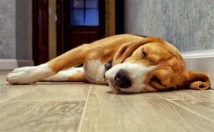 Epilepsia: cómo conseguir que tu perro mejore con una dieta natural (vídeo)