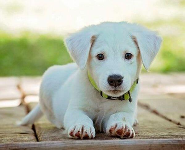 puppy-600x450