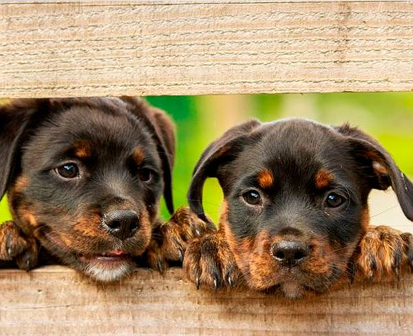 rottweilers-600x450