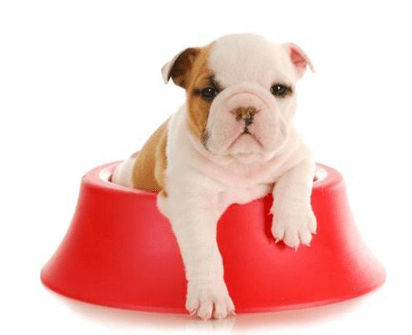 perro-alimentación-cachorro